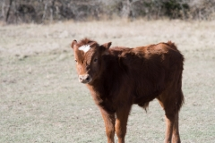 Calf for Sale
